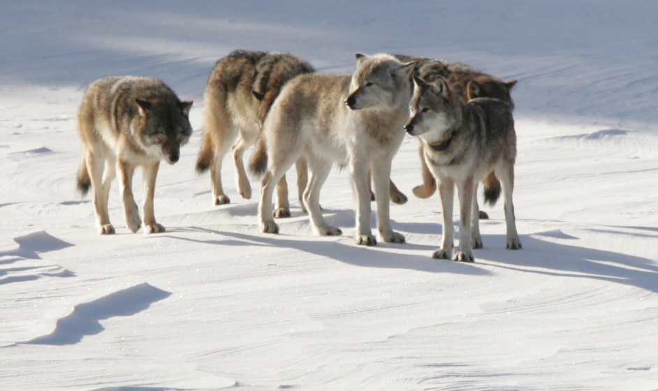 The Population Biology Of Isle Royale Wolves And Moose An Overview The Wolves And Moose Of