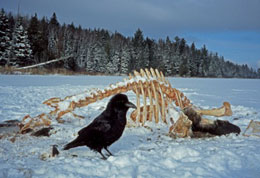 However Discoveries Like These About Wolves And Ravens Are Valuable For A Diffe Reason They Reveal Unexpected Connections In Nature