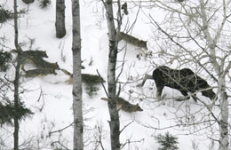 Wolf Pack Hunting Moose